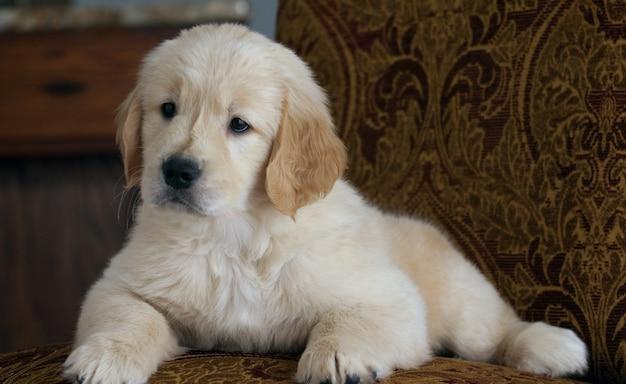 Foto de foco raso de um filhote de cachorro golden retriever fofo descansando no sofá