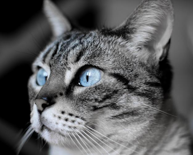Foto de foco raso de um gato doméstico de pêlo curto de olhos azuis