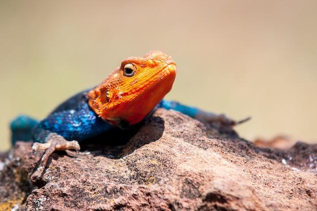Foto de foco raso de um lagarto agama descansando na rocha