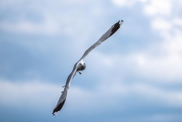 Foto de foco raso de uma gaivota voando