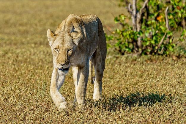 Foto de foco raso de uma leoa caminhando em um campo de grama durante o dia