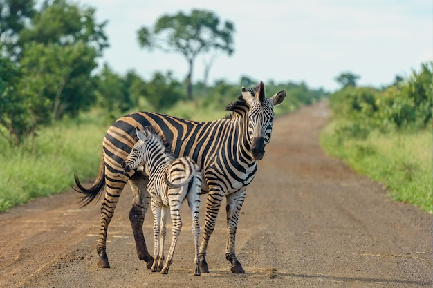 Foto de foco raso de uma mãe zebra com seu bebê parado na estrada