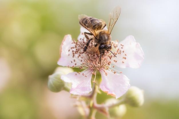 Foto de foco seletivo da abelha coletando pólen