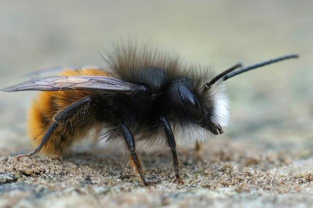 Foto de foco seletivo da abelha europeia do pomar