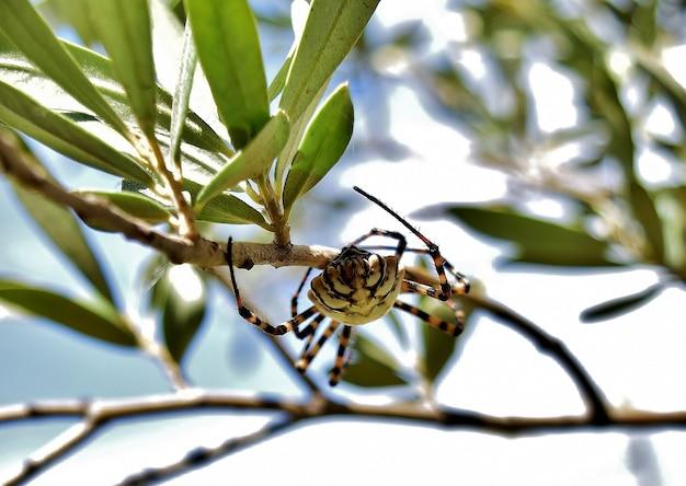 Foto de foco seletivo da aranha argiope lobed nos galhos de uma oliveira