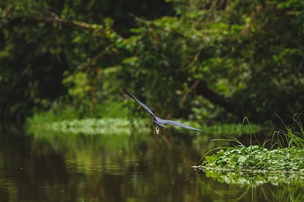 Foto de foco seletivo da garça azul em voo