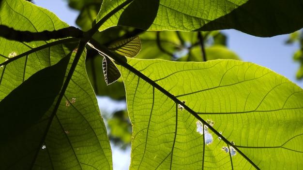 Foto de foco seletivo das folhas da terminalia catappa com um fundo de céu azul