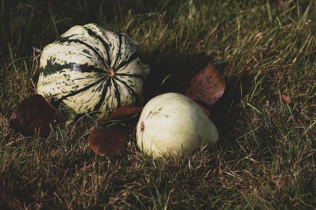 Foto de foco seletivo de abóboras meio crescidas colocadas em um gramado