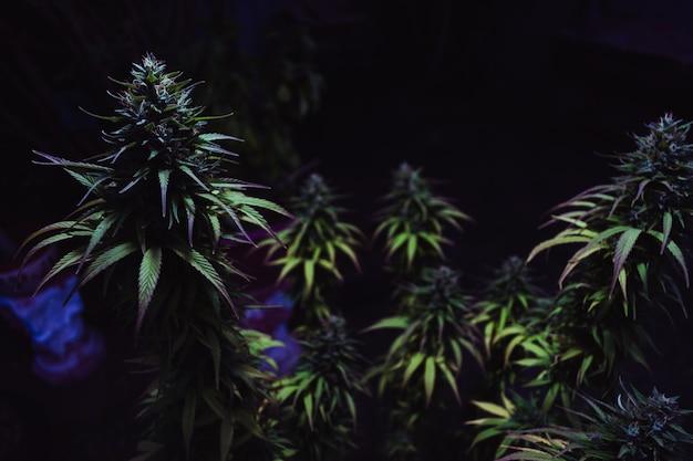 Foto de foco seletivo de amnésias originais verdes em um fundo escuro