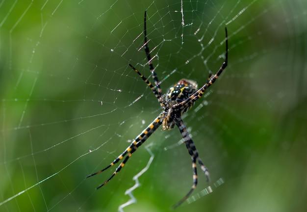 Foto de foco seletivo de aranha argiope em uma teia