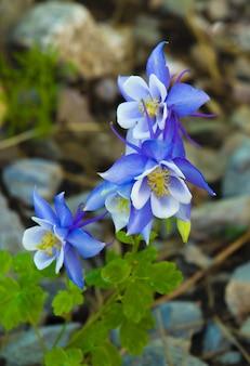 Foto de foco seletivo de belas flores de columbina azul do colorado