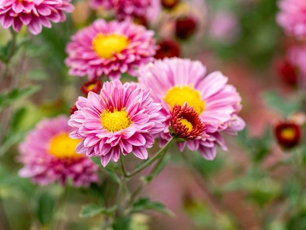 Foto de foco seletivo de crisântemos rosa florescendo
