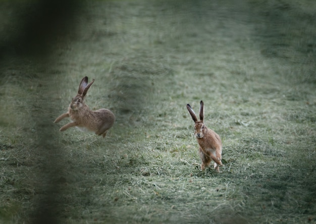 Foto de foco seletivo de dois coelhos brincando no campo de grama