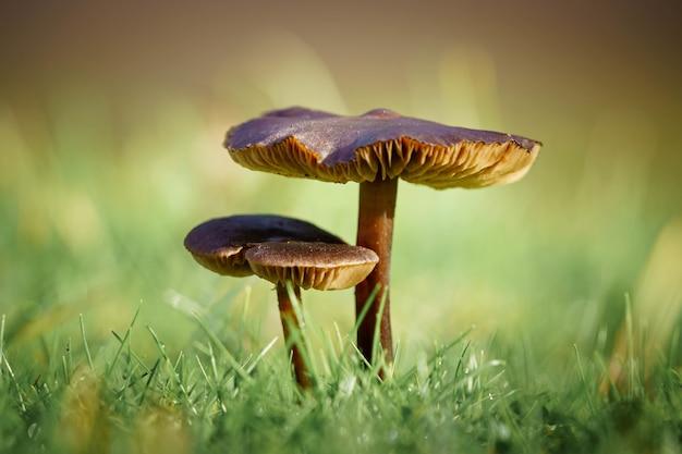 Foto de foco seletivo de dois cogumelos com grama verde na superfície