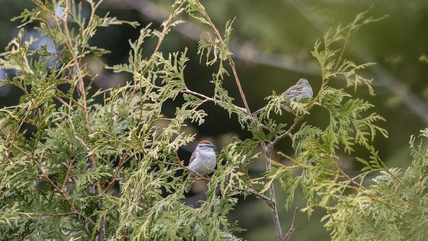Foto de foco seletivo de dois pardais empoleirados em galhos de thuya