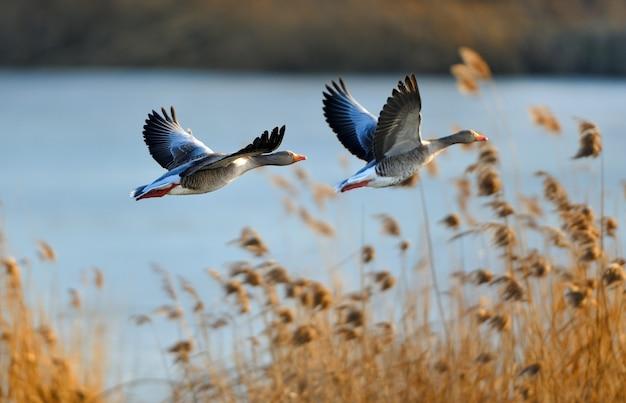 Foto de foco seletivo de dois patos voadores