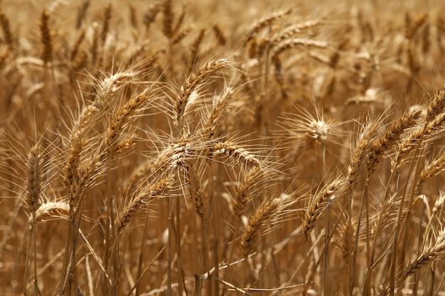 Foto de foco seletivo de espigas de trigo douradas em um campo