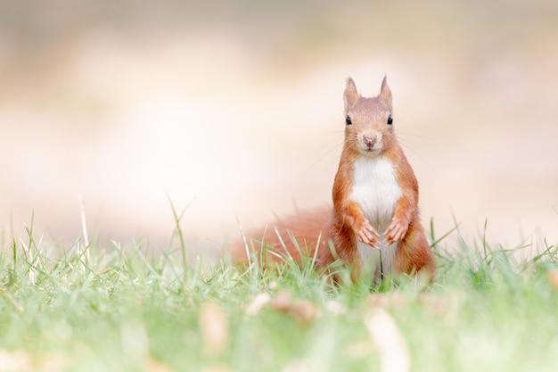 Foto de foco seletivo de esquilo vermelho na floresta