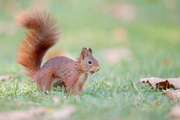 Foto de foco seletivo de esquilo-vermelho na floresta