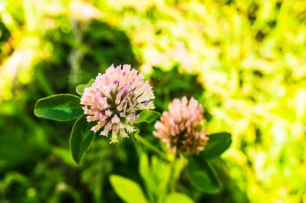 Foto de foco seletivo de flor de trevo vermelho