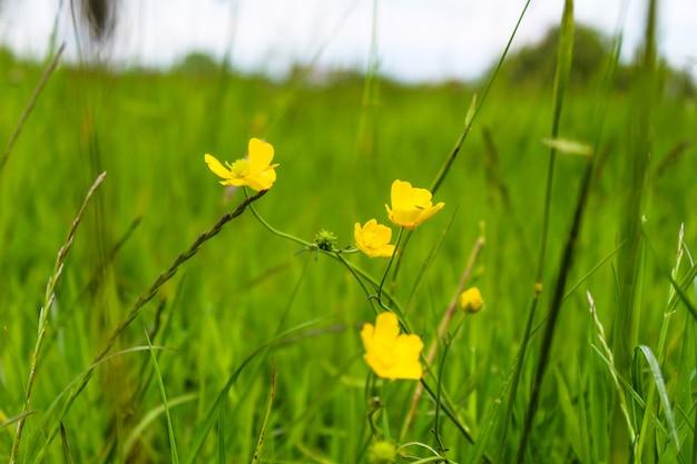 Foto de foco seletivo de flores amarelas rastejantes de botão de ouro crescendo entre a grama verde