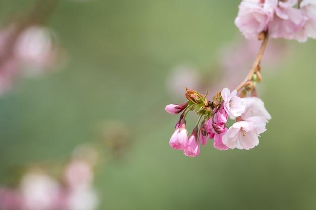 Foto de foco seletivo de flores de cerejeira rosa no galho com um fundo desfocado