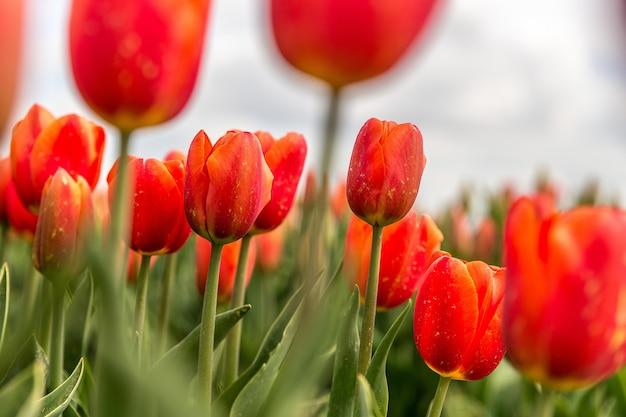 Foto de foco seletivo de flores de tulipas vermelhas