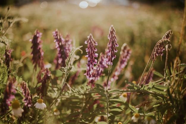 Foto de foco seletivo de flores roxas de vicia cracca no campo