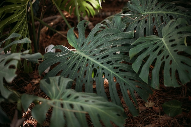 Foto de foco seletivo de folhas de monstera