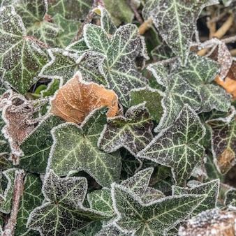 Foto de foco seletivo de folhas verdes cobertas de gelo