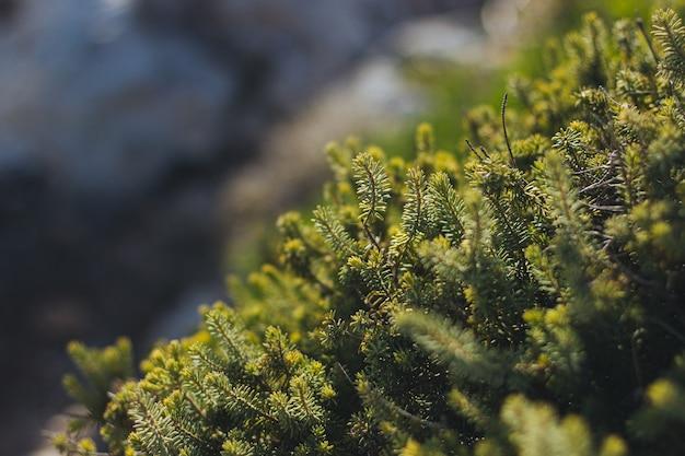 Foto de foco seletivo de folhas verdes de pinheiro com um fundo desfocado
