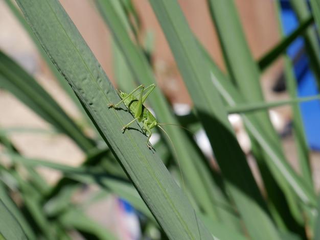 Foto de foco seletivo de gafanhoto verde na folha de grama