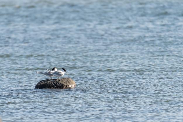 Foto de foco seletivo de gaivotas de cabeça preta empoleiradas em uma rocha