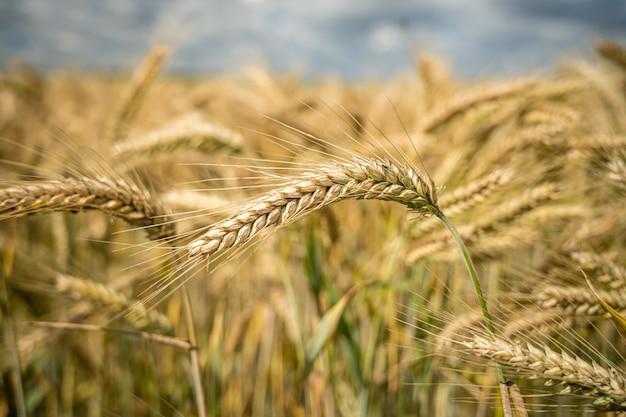 Foto de foco seletivo de galhos de trigo crescendo no campo