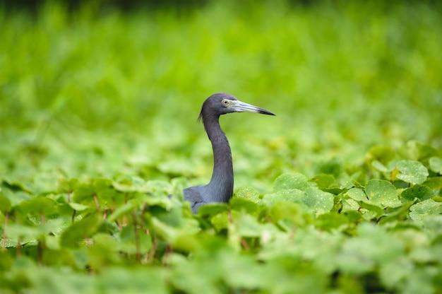 Foto de foco seletivo de garça azul em uma floresta tropical
