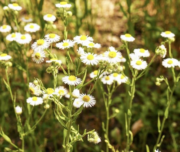 Foto de foco seletivo de lindas flores de camomila