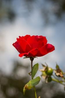 Foto de foco seletivo de lindas rosas vermelhas em um fundo desfocado