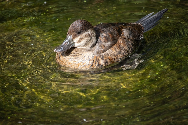 Foto de foco seletivo de pato selvagem nadando na água