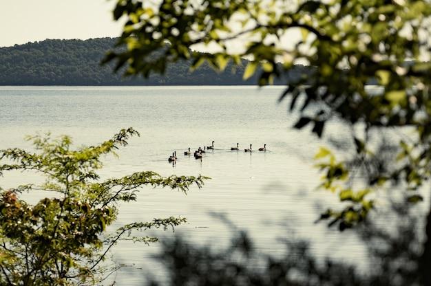 Foto de foco seletivo de patos em um lago contra uma montanha de folhagem