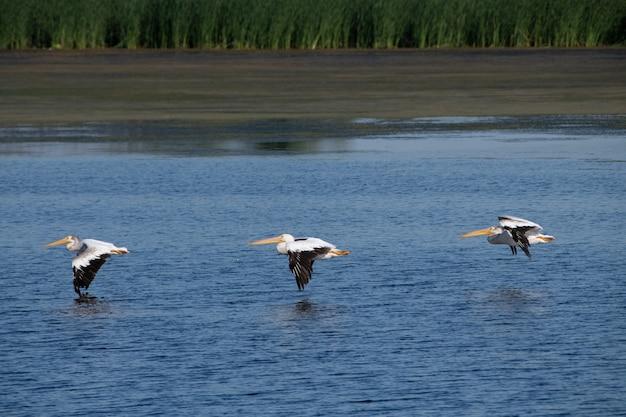 Foto de foco seletivo de pelicanos voando sobre o mar azul