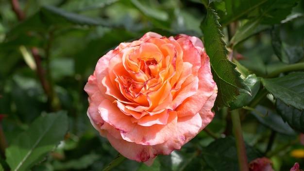 Foto de foco seletivo de rosa pêssego no jardim