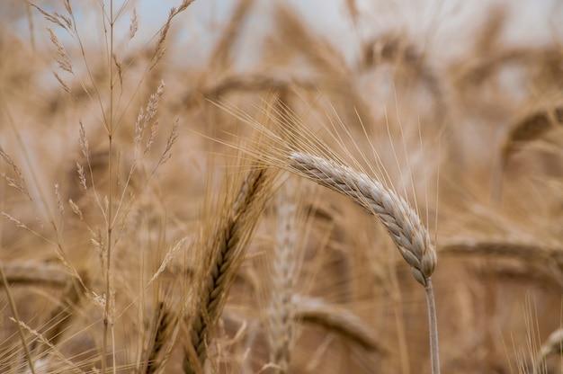 Foto de foco seletivo de safras de trigo no campo com um fundo desfocado