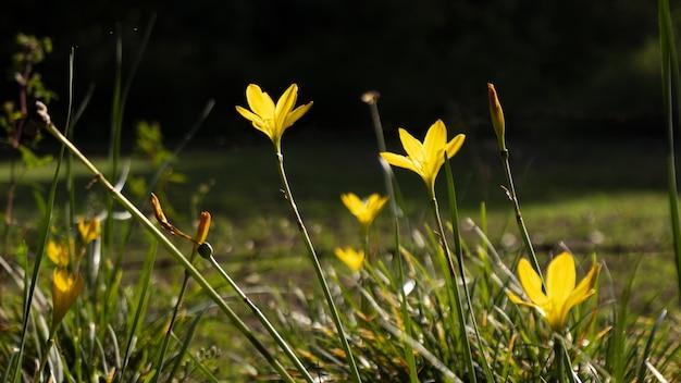 Foto de foco seletivo de tulipas bieberstein no campo com bokeh de fundo