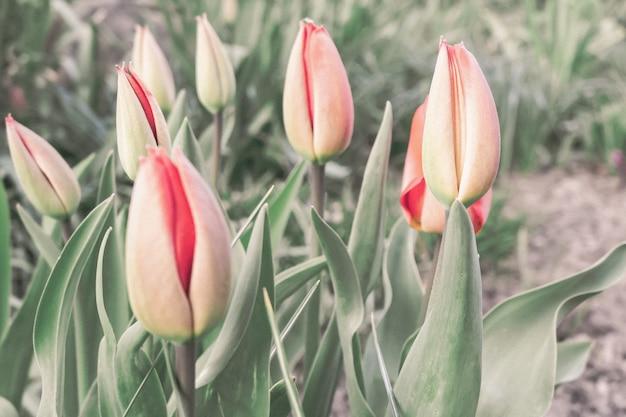 Foto de foco seletivo de tulipas vermelhas e brancas crescendo no campo