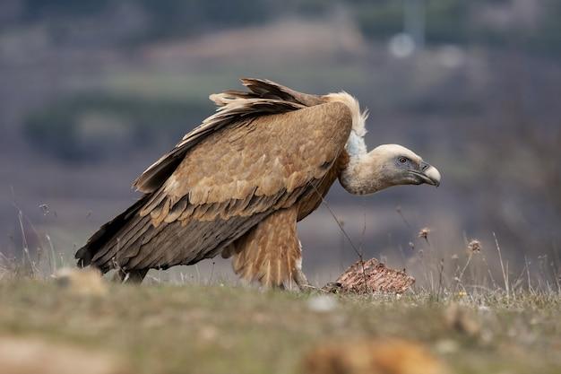 Foto de foco seletivo de um abutre se alimentando de um pedaço de carne em um campo coberto de grama Foto gratuita