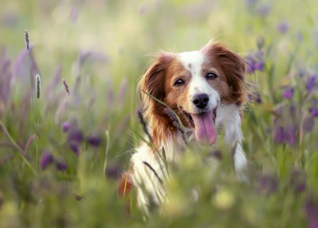 Foto de foco seletivo de um adorável cachorro kooikerhondje em um campo