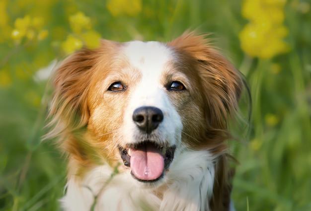 Foto de foco seletivo de um adorável cachorro kooikerhondje