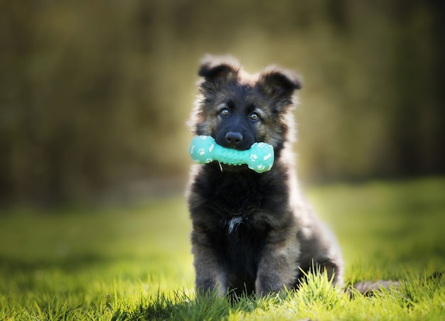 Foto de foco seletivo de um adorável cachorro pastor alemão com um brinquedo para roer
