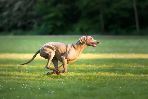 Foto de foco seletivo de um adorável cão weimaraner marrom