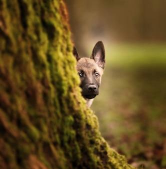 Foto de foco seletivo de um adorável filhote de cachorro belga malinois atrás de um tronco de árvore